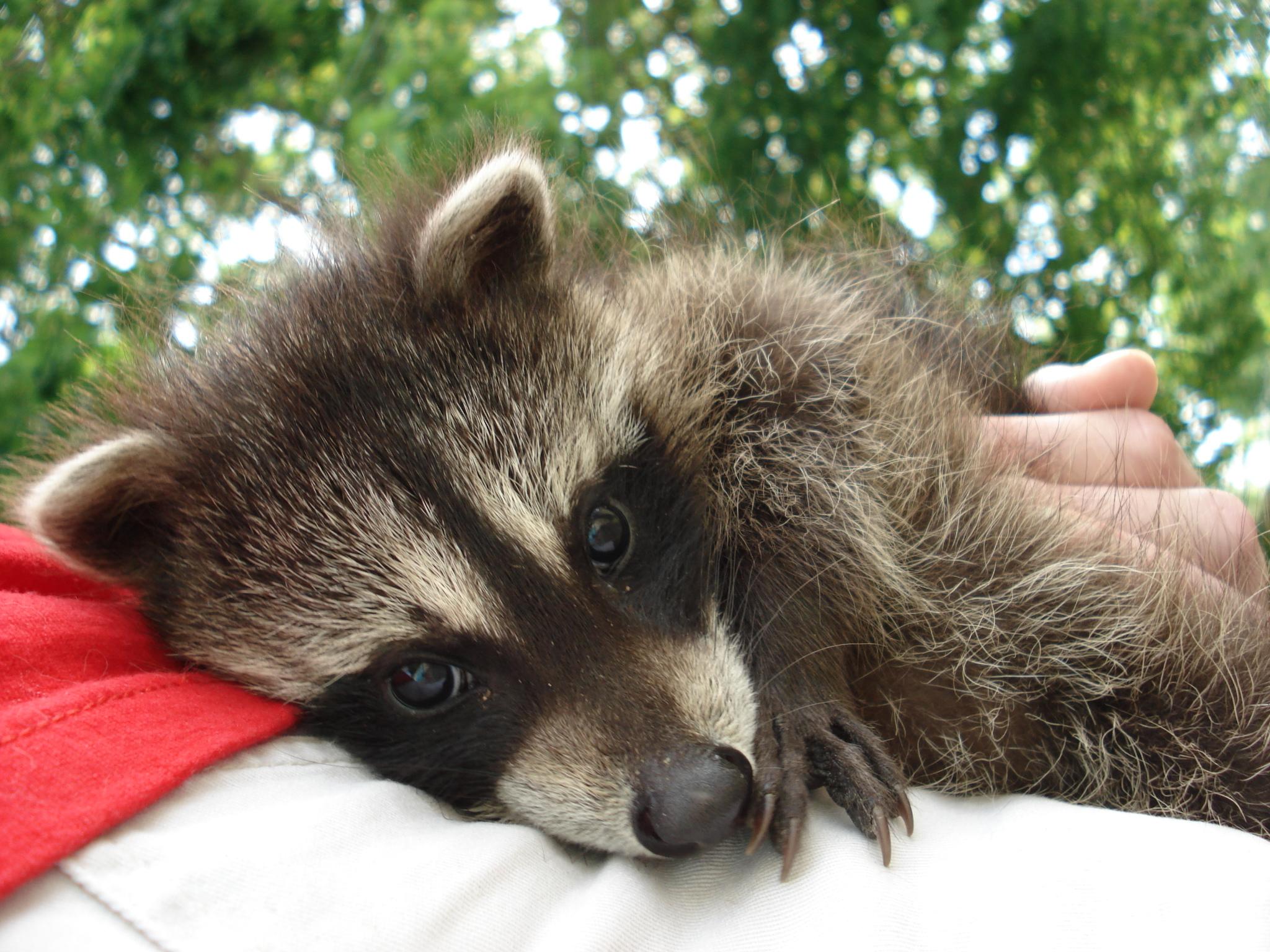 Výsledek obrázku pro baby raccoon